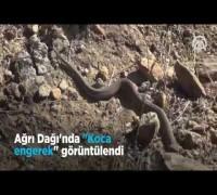 Ağrı Dağı'nda 'Koca engerek' görüntülendi