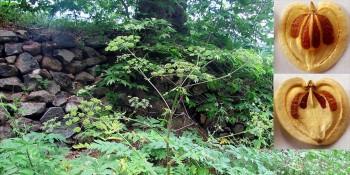 Amanos öğrek otu dünya bitki literatürüne girdi