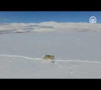 Bayburt'ta drone ile çekilen kurt görüntüleri ilgi odağı oldu